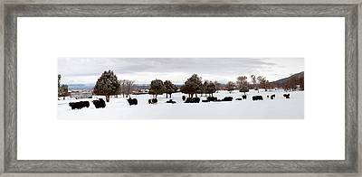 Herd Of Yaks Bos Grunniens On Snow Framed Print by Panoramic Images
