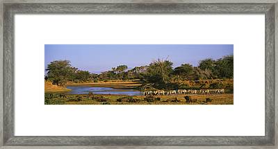 Herd Of Zebra Equus Grevyi And African Framed Print by Panoramic Images