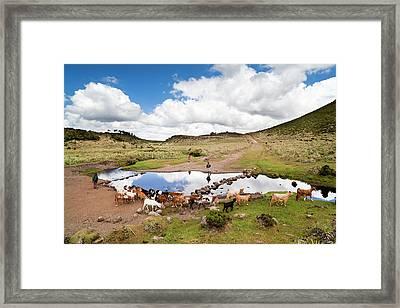 Herd Tended By Oromo Children Framed Print by Martin Zwick