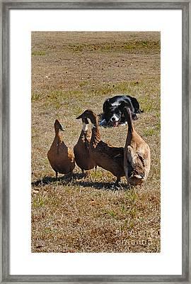 Herding Ducks Framed Print by Skip Willits
