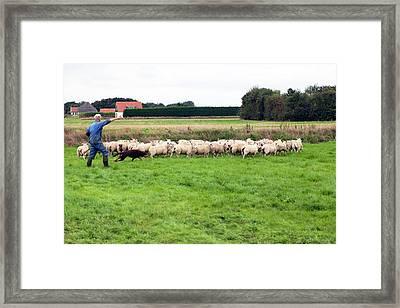 Herding Sheep Framed Print by Dirk Wiersma
