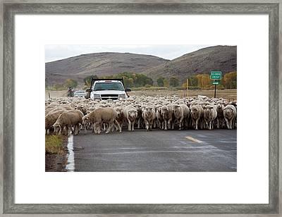 Herding Sheep Framed Print