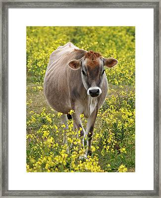 Here I Come - Jersey Cow Framed Print by Gill Billington