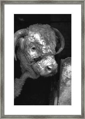 Hereford Bull In Black And White Framed Print by Cathy Anderson