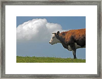 Framed Print featuring the photograph Hereford Cow by Dennis Cox WorldViews
