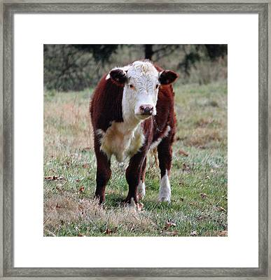 Hereford Portrait IIi Framed Print by Suzanne Gaff