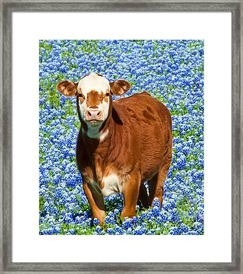 Heres Looking At You Kid - Calf With Bluebonnets In Texas Framed Print by David Perry Lawrence