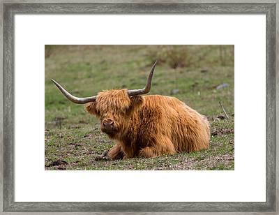 Highland Cattle Bull Framed Print