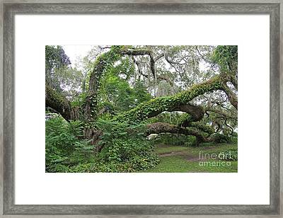 Heritage Oak  Framed Print