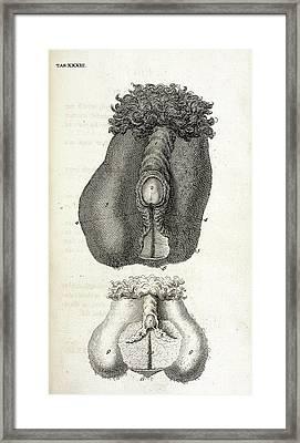 Hermaphrodite Sex Organs Framed Print by British Library