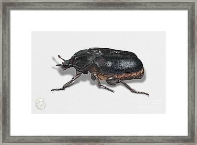 Hermit Beetle - Russian Leather Beetle - Osmoderma Eremita - Pique Prune - Erakkokuoriainen Framed Print by Urft Valley Art