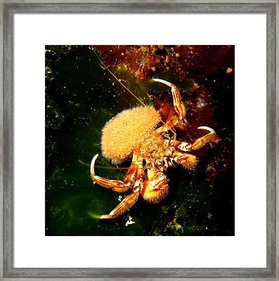 Hermit Crab Framed Print by April Muilenburg