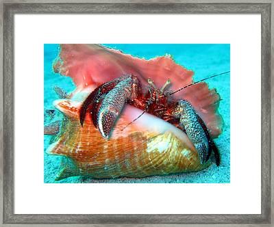 Hermit Crab Caribbean Sea Framed Print by Laura Hiesinger