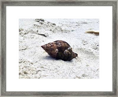 Hermit Crab Of Siesta Key Florida Framed Print