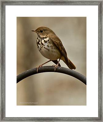 Framed Print featuring the photograph Hermit Thrush by Robert L Jackson