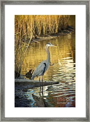Heron Along The Bayou Framed Print by Joan McCool