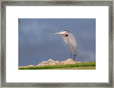Heron And Pond Framed Print by Kenny Francis