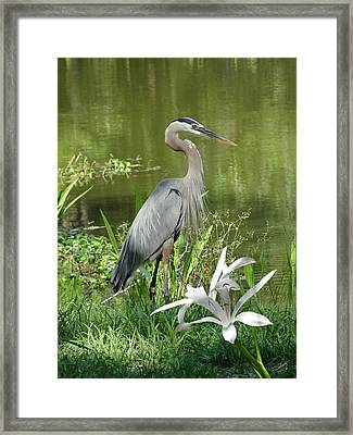 Heron And Swamp Lily Framed Print
