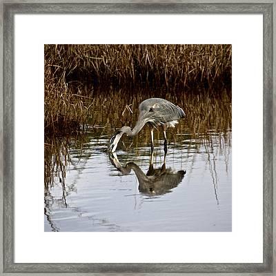 Heron At Assateague Framed Print by Kathi Isserman