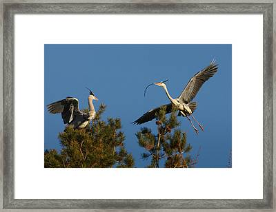 Heron Brings Twigs For The Nest Framed Print