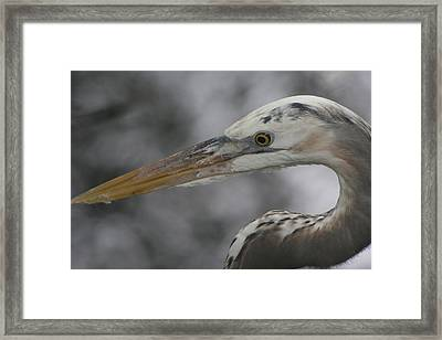 Heron Framed Print by Carlynne Hershberger