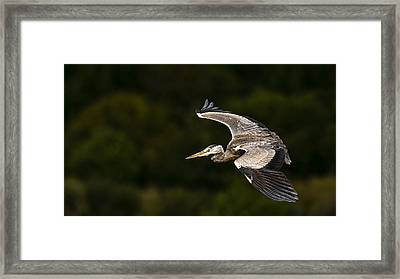 Heron Coming In To Land Framed Print