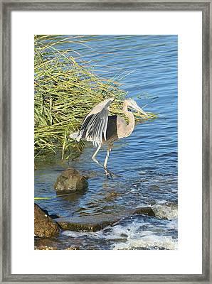 Heron Dance Framed Print by Karen Silvestri