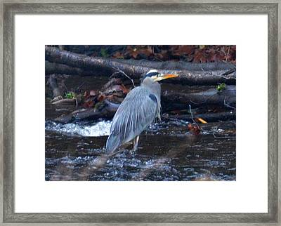Heron Fishing Framed Print by Jeri lyn Chevalier