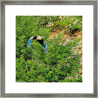 Heron Flies Over Oak Creek In Red Rock State Park Sedona Arizona Framed Print by Bob and Nadine Johnston