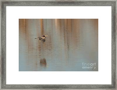 Heron In Flight Framed Print