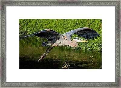 Heron In Flight Framed Print by Parker Cunningham