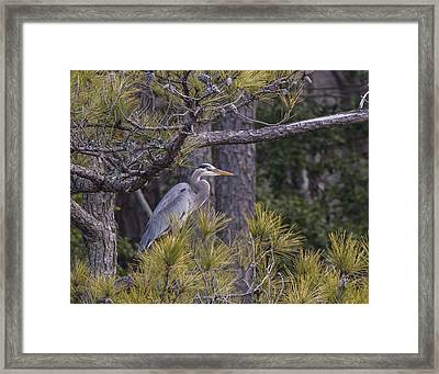 Heron In The Pines Framed Print by Andy Smetzer