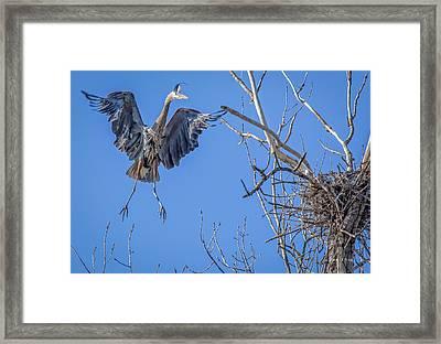 Heron Landing On Nest Framed Print by Everet Regal