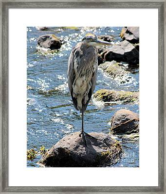 Framed Print featuring the photograph Heron On One Leg by Kenny Glotfelty