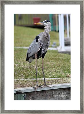 Framed Print featuring the photograph Heron On The Edge by Debbie Hart
