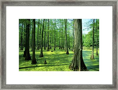Heron Pond Bald Cypress Trees In Little Framed Print by Richard and Susan Day