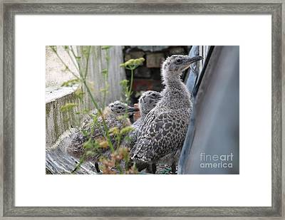 Herring Gull Chicks Framed Print