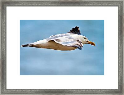 Herring Gull In Flight Framed Print