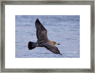 Framed Print featuring the photograph Herring Gull In Flight Photo by Meg Rousher