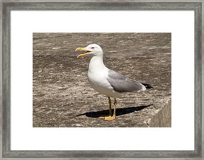Herring Gull Framed Print by Nigel Downer