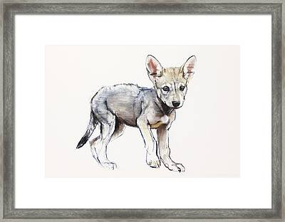 Hesitating Arabian Wolf Pup Framed Print by Mark Adlington