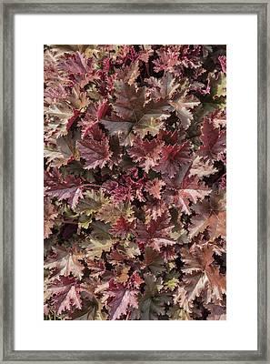 Heuchera 'chocolate Ruffles' Framed Print