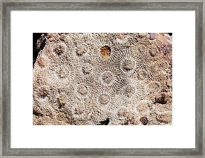 Hexagonaria Fossil Coral Framed Print by Dirk Wiersma