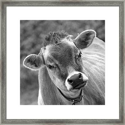 Hey - You Think I'm Funny - Cow Bw Framed Print by Gill Billington