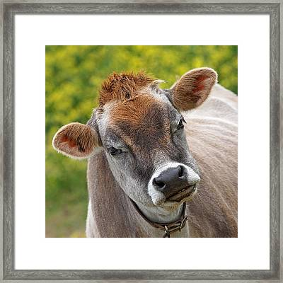 Hey - You Think I'm Funny - Cow Framed Print by Gill Billington