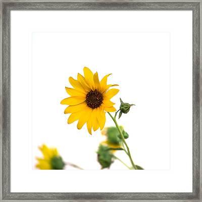 Hi Key Sunflower Framed Print