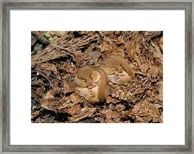 Hibernating Dormice Framed Print by M. Watson