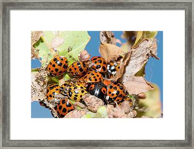 Hibernating Harlequin Ladybirds Framed Print by Dr. John Brackenbury