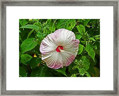 Hibiscus Framed Print by Aimee L Maher Photography and Art Visit ALMGallerydotcom