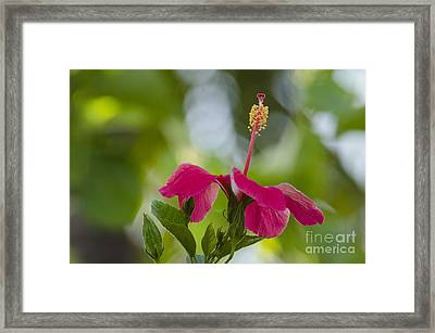 Hibiscus Blooming Framed Print